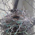 カラスの巣の駆除方法は?見つけ方や作らせない予防対策!