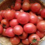 美味しいトマトの見分け方のポイント!長持ちさせる保存方法!